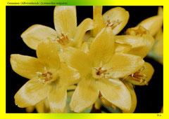Gemeiner Gilbweiderich (Lysimachia vulgaris)