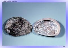 Seeohr (Haliotis lamellosa)