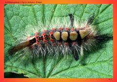 Schlehenspinner (Orgyia antiqua),