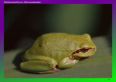 Mittelmeerlaubfrosch (Hyla meridionalis)