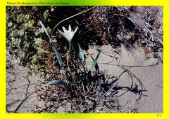 Dünen-Trichternarzisse (Pancratium maritimum)