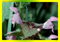 Purpurrote Taubnessel (Lamium purpurreum)