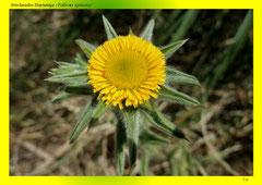 Stechendes Sternauge (Pallenis spinosa)