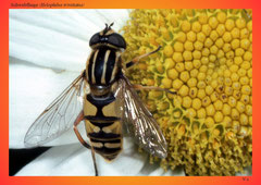 Schwebfliege (Helophilus trivittatus)