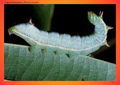 Pappelzahnspinner (Pheosia tremula)
