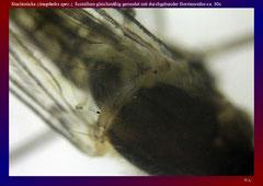 Stechmücke (Anopheles spec.), Scutellum gleichmäßig gerundet mit durchgehender Borstenreihe-ca. 30x