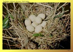 Teichhuhn (Gallinula chloropus), Nest+Gelege