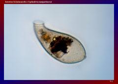 Retorten-Schalenamöbe (Cyphoderia margaritacea)