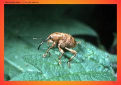Haselnußbohrer ( ? Curculio nucum)