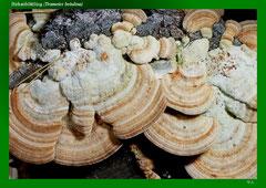 Birkenblättling (Trametes betulina)
