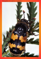 Totengräber (Necrophorus vespilloides)