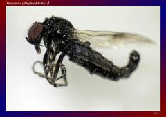Haarmücke (Dilophus febrilis), ♂-ca. 12x