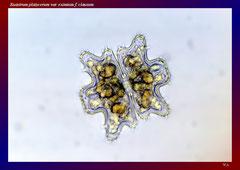 Euastrum platycerum var. eximium f. clausum (Amazonas-Gebiet, Reg. Nhamunda)-L 108, B 108