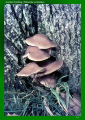 Austern Seitling (Pleurotus ostreatus)