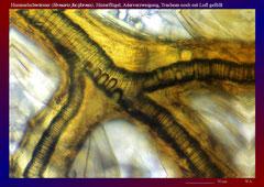 Hummelschwärmer (Hemaris fuciformis), Hinterflügel, Aderverzweigung, Tracheen noch mit Luft gefüllt-ca. 150x