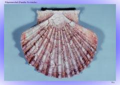 Pilgermuschel (Familie Pectinidae)