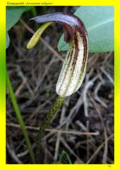 Krummstab (Arisarum vulgare)