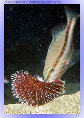 Kleiner Sägebarsch o. Blutstriemen (Serranus cabrilla)