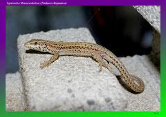 Spanische Mauereidechse (Podarcis hispanica)