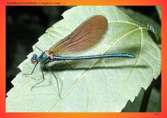 Blauflügel-Prachtlibelle (Calopteryx virgo ♂)