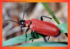 Kardinal- o. Feuerkäfer (Pyrochroa coccinea)