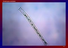 Gonatozygon aculeatum (Haselünne, Wacholderhain)-L 194, B 10