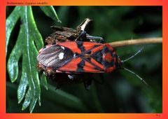 Bodenwanze (Lygaeus saxatilis