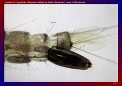 Asiatische Tigermücke (Stegomyia albopicta_Aedes albopictus), Larve, Abdomenende-ca. 50x