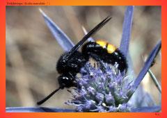 Dolchwespe (Scolia maculata ♂ )