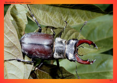 Hirschkäfer (Lucanus cervus) ♂