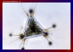 Staurastrum xiphophorum - Ap.