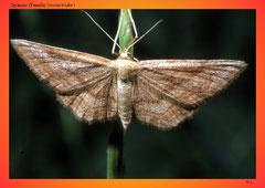 Spanner (Familie Geometridae)