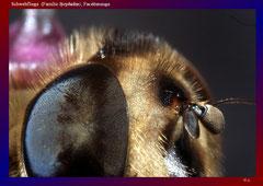 Schwebfliege (Familie Syrphidae), Facettenauge