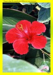 Chinesischer Roseneibisch (Hibiscus rosa-sinensis)