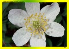 Wald-Windröschen (Anemone sylvestris)