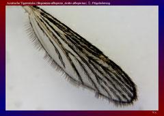 Asiatische Tigermücke (Stegomyia albopicta_Aedes albopictus), ♀, Flügeladerung-ca. 20x