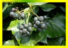 Efeu (Hedera helix), Früchte
