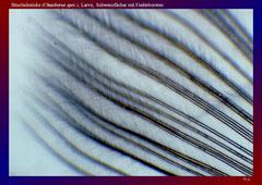 Büschelmücke (Chaoborus spec.), Larve, Schwanzfächer mit Fiederborsten