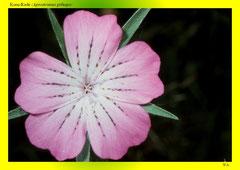 Korn-Rade (Agrostemma githago)