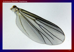 Kriebelmücke (Simuliidae), Flügeladerung-ca. 20x