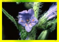 Blauer Natternkopf (Echium vulgare),Blüte