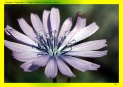 Gemeine Wegwarte o. Wilde Zichorie (Cichorium intybus)