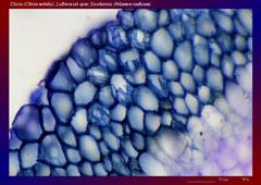 Clivie (Clivia nobilis), Luftwurzel quer, Exodermis (Velamen radicum)-ca. 150x