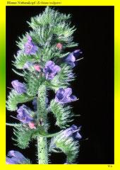 Blauer Natternkopf (Echium vulgare)
