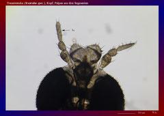 Trauermücke (Sciaridae spec.), Kopf, Palpen aus drei Segmenten-ca. 70x