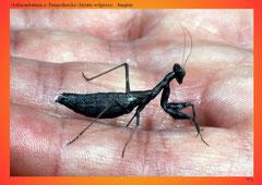 Gottesanbeterin o. Fangschrecke (Mantis religiosa), Jungtier