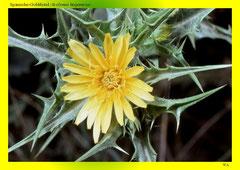 Spanische-Golddistel (Scolymus hispanicus)