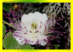 Dorniger Kapernstrauch (Capparis spinosa)