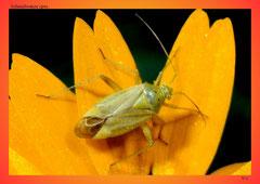 Schmalwanze (Familie Miridae)
