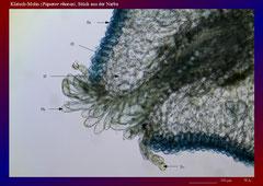 Klatsch-Mohn (Papaver rhoeas), Stück aus der Narbe-ca. 70x